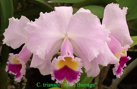 Sunset Valley Orchids Superior Hybrids For Orchid