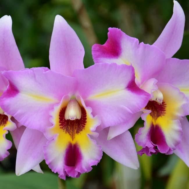 New Zealand NZ Native Orchids